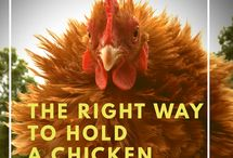 About chickens