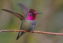 Hummingbirds / My favorite thing in nature,  the hummingbird.  This board has pins of the birds, feeders, jewelry, Babies, nests, art and everything I can find hummingbird.   I am amazed at the number of species there are,  I am thankful everyday for this wonderful, beautiful, amazing, creation of God. / by Nora Hickey