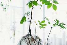 Rooting plants in glass vases