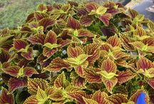 Crazy for Coleus