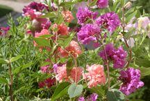 Цветы / Выращенные петунии