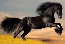 CABALLOS PURA SANGRE Y OTROS / Diferentes razas de caballo: Árabe, español, azteca, pura sangre, frisón, akhal-teke, cuarto de milla, Kentucky  y rocky mountain, karabakh, morgan, lusitano, Tennessee walking, semental (stallion) Pinto, islandés, apalosa, mangalarga, percheron, etc.