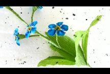 floare de nu ma uita