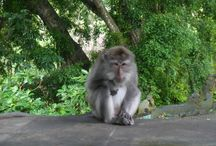 Terror in the Monkey Forest, Ubud / The monkey Forest in Ubud, Bali is one of the Indonesian island's most popular tourist attractions. However, some of the locals can be a little scary at times, we experienced some terror in the Monkey Forest in Bali!