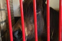 Prisoners / Locked up in a space so small that if they were people it would be deemed cruel. To live and lie in their own excrement 12 to 23 hours a day. To have their food rationed and dumped on the same excrement. Equine freedom is not an hour in the riding ring or a few hours in a field, equine freedom is 24/7 in a field - or preferably better.