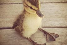 i want a duck