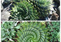 Spiral Aloe seeds