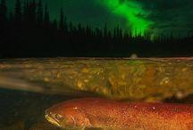 Découvrir le Yukon / Quoi faire au Yukon? Quoi voir? Ici, nous vous donnons une tonne d'idées et de suggestions pour un séjour parfait dans ce beau territoire du Canada! Découvrez aussi les attraits touristiques et les merveilles du Yukon.