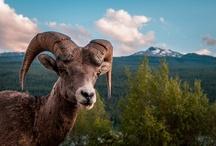 Nature::Animals:Ram