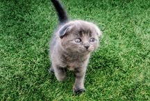 scottish fold  kittens and Exotic  fold  kittens / Scottishfold kittens and exotic short hired  kittens for sale  and  adoption. I rescue kittens and cats as well to find the best possible home. come check out my website cattery for updates on kittens and cats. I breed Scottish fold and exotic cats. Adoptions as well as educational support to the best life possible for your loved pets. these kittens are social loving felines that are exposed to other animals , come take a look at exoticfolds.com