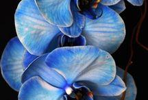 Orchid blue mystique