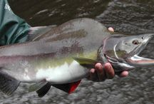 PINK SALMON / Fly fishing for pink salmon.  Pink salmon on the fly.