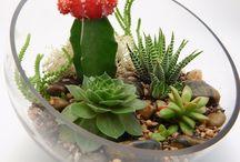 pozsgás szobanövények