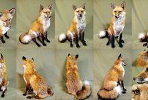 Anatomia lisów / Fox anatomy