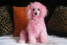 ~ Ooodles of Poodles ~