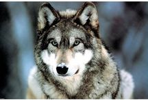 Wolf Pictures: Arctic Red Grey Black White Wolves Photography / Many of us like wolves in art as well as photographs, especially wolf howling, wolf at moon, grey wolves and arctic wolves.