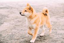 Shiba Inu / T&M´s future dog <3