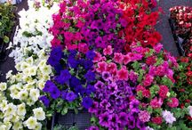 flores que suportam o sol