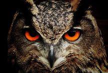 Owl-maniac / Minden, ami bagoly
