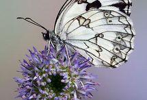 Atlas des papillons de Bretagne