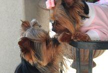 Yorkshire puppies ❤️
