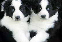 Border Collies / by Querida Kate