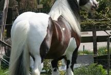 konie koniki
