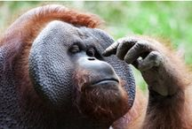JACKY THE BORNEAN ORANGUTAN / Bornean Orangutan | Orangutan Kalimantan