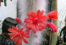 cactuswinteri cola de mono