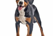 Greater Swiss Mountain Dog / The origins of the Great Swiss Mountain Dog is not entirely clear but it is thought that they are descended from the Molosser, a large Mastiff type dog which was brought to Switzerland by the Romans in the first century B.C. From these dogs, other breeds were created by crossing and inbreeding. - See more at: http://www.noahsdogs.com/m/dogs/breed/Dandie-Dinmont-Terrier-2013-03-17#sthash.9OQCPuca.dpuf