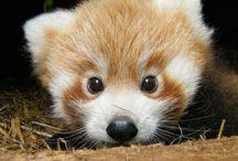 bebe panda roux