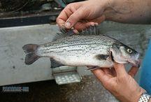 Gestreepte baars vissen / Vissen op de gestreepte zeebaars, striper op de visvijvers in Nederland en België