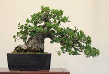 project: live oak