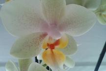 Orchideeën   / verschillende