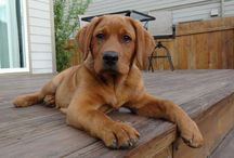 Labradorable Love / For the love of labrador retrievers