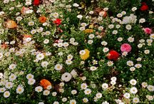 Virágos rétek - Flower Meadows