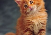 Cats - Maine Coon