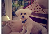 Beautiful Bichons! / The extremely fluffy world of #BichonFrise
