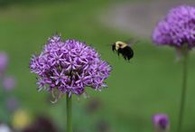 Pollinator Gardens / Let's celebrate pollinators in our garden! Pictures, ideas and tips how to welcome these wildlife friends in!
