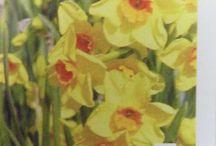 Daffodil Bulbs from Cornwall