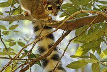 My Wonder Zoo : Rocket Raccoon and Master Shifu ! / Raccoon, Red Panda ....