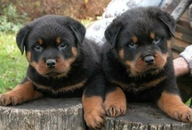 Rottweilers...my love <3 / by Kristy McKusick