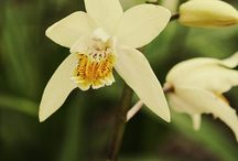2016 PDN Bletilla / Of all of the hardy orchids for sale, none are easier to grow than Bletilla. These spring-flowering perennial hardy orchids are quite durable in a wide range of garden conditions. If you have always thought hardy orchids were difficult to grow, then give a bletilla a try.