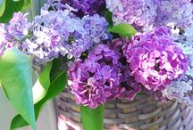 Purple / Lila / Mulberry