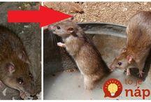 mysi, potkany