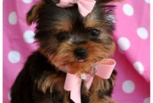 Yorkies...I need one in my life