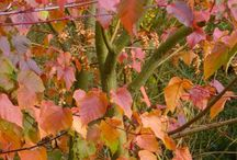 Trees available at Jacksons Nurseries / Trees Trees are distinct from shrubs in that their elongated branches and foliage are raised clear of the ground by the trunk. They are generally taller than herbaceous and shrubby plants with either evergreen leaves that remain all year-round or deciduous leaves that take on beautiful autumnal colours before being shed to the ground before the trees' dormant period.