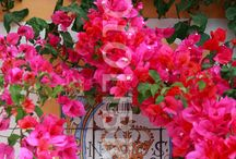 Bougainvillea / I just can't get enough of these!  It's like an explosion of colors. / by Nathalie Huot