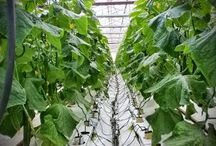 DRIKA Farm / DRIKA Farm, a member of the DKG Group produces  greenhouse hydroponic mini cucumber in Ierapetra, Crete-Greece.