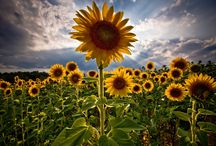 Thank you for the sunflowers / by Tonette Carreon